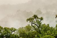 VEGETACION ENTRE LA BRUMA, RESERVA NATURAL PROVINCIAL LOS SOSAS, SELVA TUCUMANA O REGION MERIDIONAL DE LA YUNGA, PROV. DE TUCUMAN, ARGENTINA