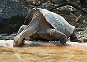 A Galápagos giant tortoise (Chelonoidis nigra, formerly Geochelone elephantopus) drinks water at the Charles Darwin Research Station (CDRS, operated by the Charles Darwin Foundation) in Puerto Ayora on Santa Cruz Island, Galápagos islands, Ecuador, South America. This species is the largest living tortoise and is native to seven islands of the Galápagos archipelago. Fully grown adults can weigh over 300 kilograms (661 lb) and measure 1.5 meters (5 feet) over the curve of the shell. They are long-lived with a life expectancy of up to 100-150 years in the wild. Populations fell dramatically because of hunting and the introduction of predators and grazers by humans since the 1600s. Only ten subspecies of the original twelve exist in the wild. Since Galápagos National Park and the Charles Darwin Foundation were established, hundreds of captive-bred juveniles have been released back onto their home islands.  In 1959, Ecuador declared 97% of the land area of the Galápagos Islands to be Galápagos National Park, which UNESCO registered as a World Heritage Site in 1978. Ecuador created the Galápagos Marine Reserve in 1998, which UNESCO appended in 2001.