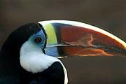 Avifauna, Europa's grootse vogelpark. / Avifauna - the largest bird sanctuary in Europe.<br /> <br /> Op de foto/On the photo: Toucan
