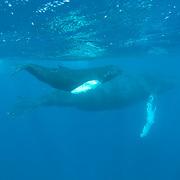Humpback Whale (Megaptera novaeangliae) mother and a calf, Caribbean Ocean.