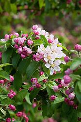 Malus × zumi 'Golden Hornet'  in blossom - crab apple