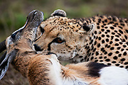 A close-up of a cheetah ( Acinonyx jubatus ) making a kill, Masai Mara, Kenya