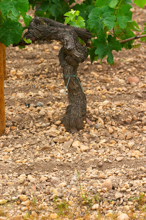 A detail of the soil at Chateau Lafleur  (la fleur), more pebbles and less clay compared to Petrus or Lafleur Petrus across the road, and an old vine with gnarled bark  Pomerol  Bordeaux Gironde Aquitaine France