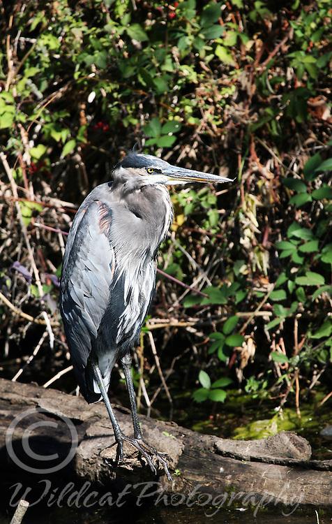 Great blue heron, just waiting