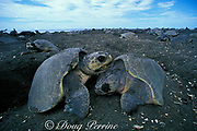 nesting female olive ridley sea turtles, Lepidochelys olivacea, crowd beach during arribada or mass nesting, <br /> Ostional, Costa Rica ( Pacific )