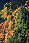 Autumn Vine Maple (Acer circinatum) and Douglas Maple (Acer glabrum douglasii) paint a steep slope along with Noble Fir (Abies procera) in Stevens Canyon, Mount Rainier National Park, Washington, USA