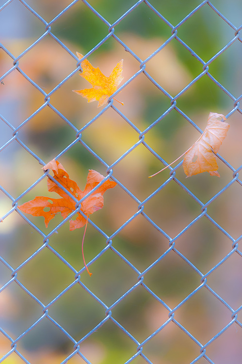 Bigleaf maple leaves (Acer macrophyllum) entwined on a chain link fence, October, Olympic Peninsula, Clallam County, Washington, USA