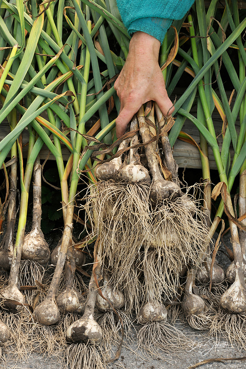 Garlic bulbs, being arranged to dry after harvest, Greater Sudbury (Lively), Ontario, Canada