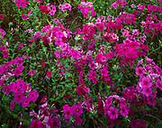 Spring bloom of Drummond Phlox, Phlox drummondii, Merryville, Louisiana.