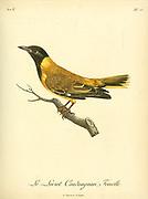 Loriot coudougnan, Female, from the Book Histoire naturelle des oiseaux d'Afrique [Natural History of birds of Africa] Volume 6, by Le Vaillant, Francois, 1753-1824; Publish in Paris by Chez J.J. Fuchs, libraire 1808