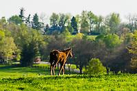 Thoroughbred foal in pasture, Winstar Farm, Versailles (Lexington), Kentucky USA.