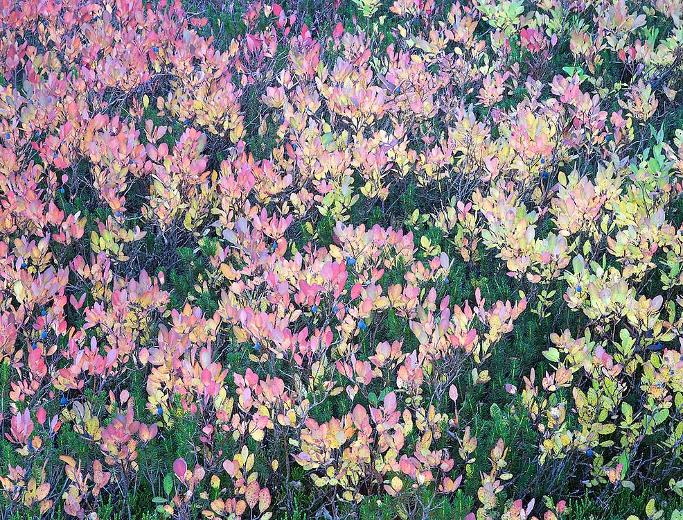 Vaccinium ovalifolium: Tall Mt. Huckleberry in autumn