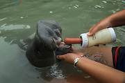 West Indian manatee (Trichechus manatus) <br /> Wildtracks<br /> Manatee Rehabilitation Center<br /> Sarteneja<br /> Belize,<br /> Central America<br /> & Jami Tambor