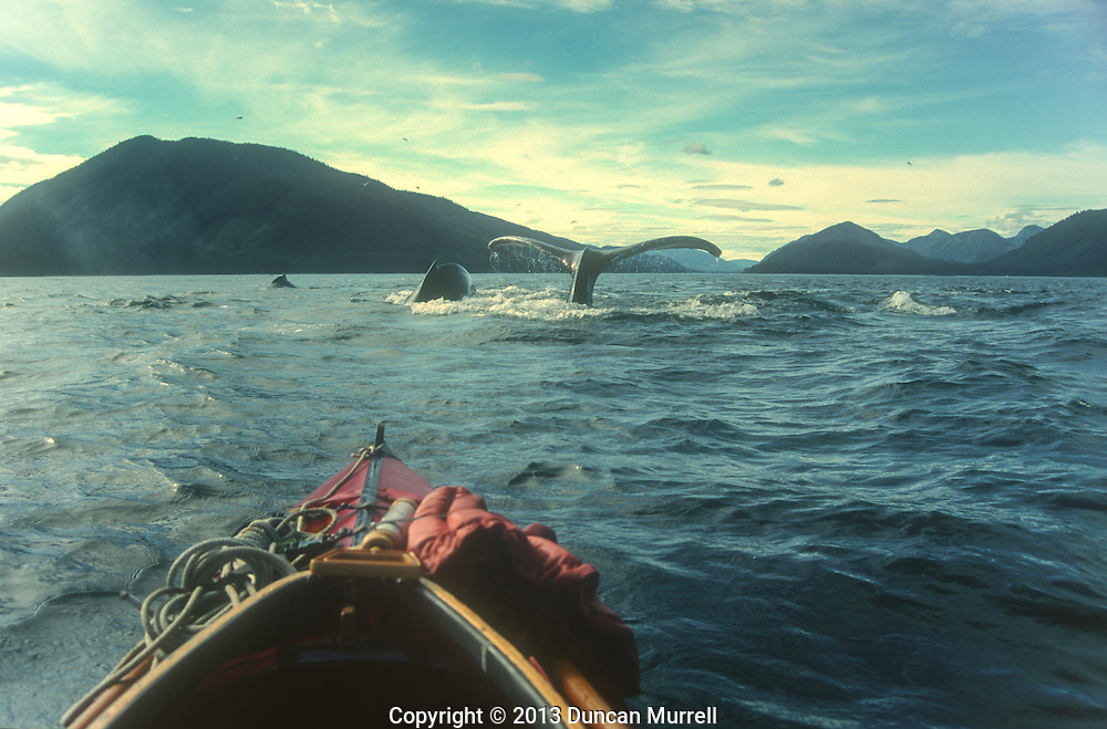 The view of a pod of humpback whales sounding from the cockpit of Duncan Murrell's Nautiraid folding kayak, Peril Strait, near Chatham Strait, Southeast Alaska, USA.<br />