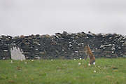 Irish Mountain Hare, Lepus timidus hibernicus, standing up in a  in field near the Cliffs of Moher,  Liscannor, Co. Clare..