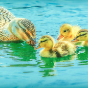 Blonde mallard hen with three new hatchlings, swimming in pond at public garden, central Ohio.  Painted effects over original photograph.
