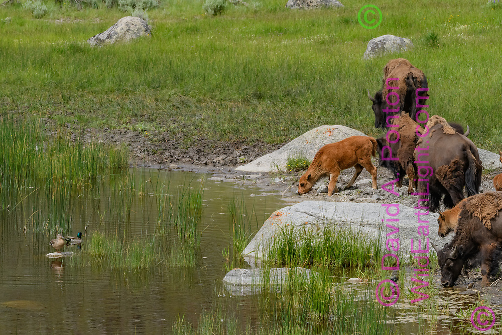 Bison mothers with calves at edge of pond with mallard pair, Yellowstone National Park, © David A. Ponton