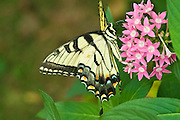 Yellow Swallowtail and Pink