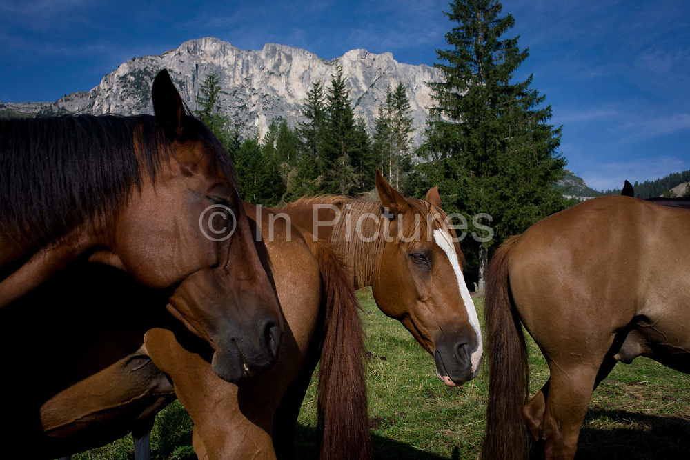 Mountain horses doze in early morning midsummer heat while positioned so that the tail of one swishes away flies from the faces of others, under Dolomites mountain in Alta Badia, south Tyrol, Italy. Horses are animals of habit that respond well to regimentation, and respond best when the same routines and techniques are used consistently.