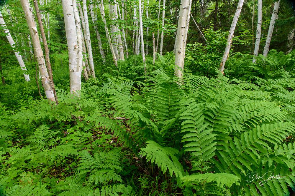 Summer ferns with flowering hawkweed in a birch woodland, Wanup, Ontario, Canada