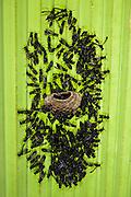 Polybia Paper Wasps constructing nest (Polybia sp)<br /> Yasuni National Park, Amazon Rainforest<br /> ECUADOR. South America<br /> HABITAT & RANGE:
