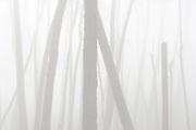 Pines in fog, Monterey, California