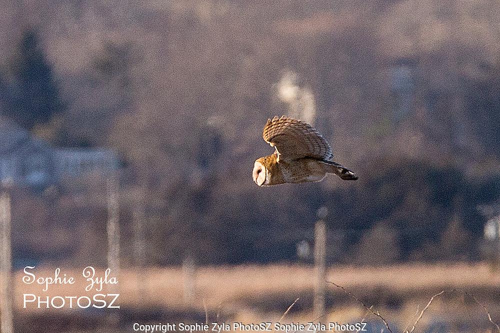 Barn Owl on a Mission!