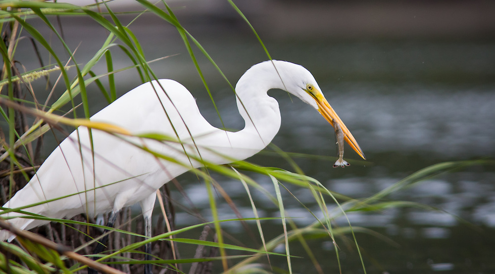 An egret fishes from a spot along a marsh of May River near Bluffton, SC.