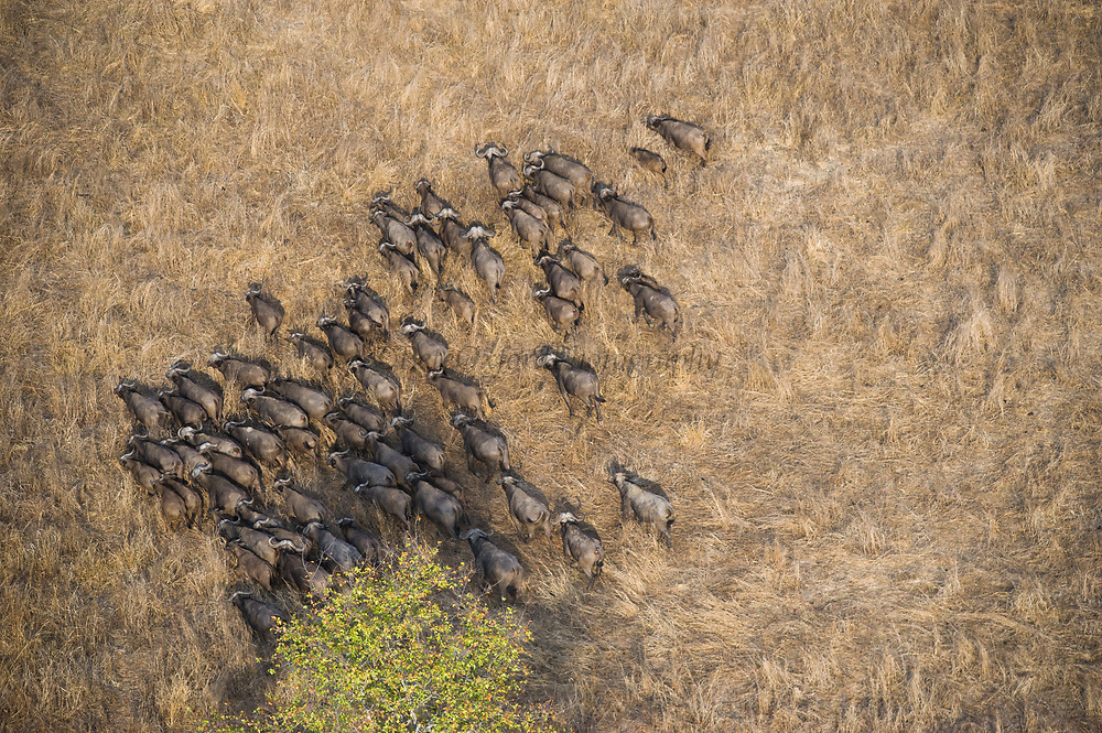African buffalo (Syncerus caffer)<br /> Liwonde National Park, MALAWI, Africa