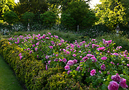 A large bed containing Rosa 'Jacques Cartier' in front of the conservatory at Chiswick House Gardens, Chiswick House, Chiswick, London, UK