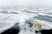 Polar bear on the melting pack ice at 81,5 degrees north off Svalbard in July 2012.