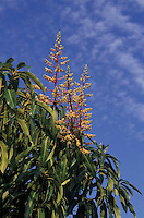 Arbol delmango floreado, Venezuela