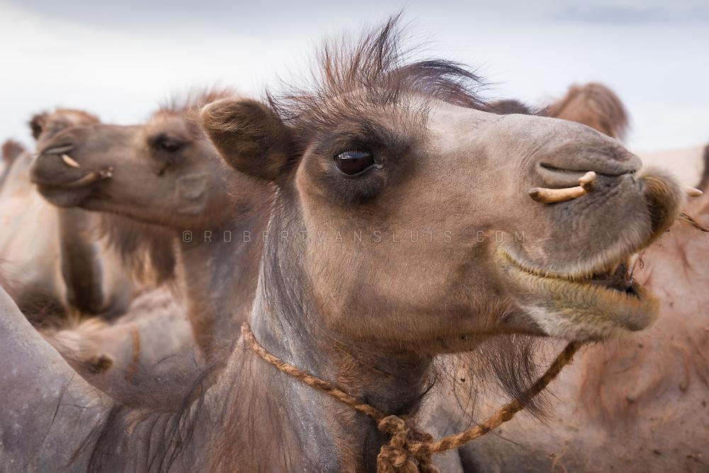 Bactrian camels in the Gobi Desert, Mongolia. Photo © Robert van Sluis - www.robertvansluis.com