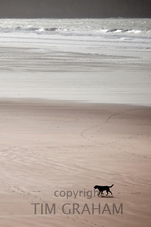 Labrador Retriever dog on the beach at Woolacombe, North Devon, UK