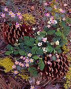 Yellow throated gilia or mustang clover, Linanthus montanus, and mountain misery, Chamaebatia foliolosa, both California endemics, among Jeffrey pine cones, near Clover Creek, Sequoia National Park, California.