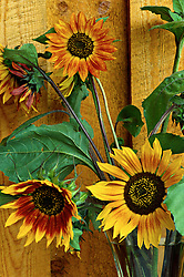 Vertical close image of cultivated domestic sunflowers in yellow and reddish brown, seen against a wall of rough cut boards