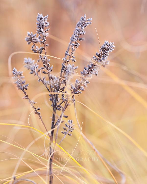 Dropseed Grass swirls around the Leadplant seeds in Autumn.