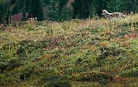 Coyote hunting (Canis latrans), Mount Rainier National Park, Washington, USA