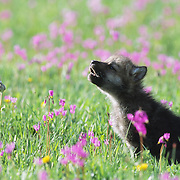 Gray Wolf pup howling in a field of blooming Shooting Star flowers in southwest Montana. Captive Animal