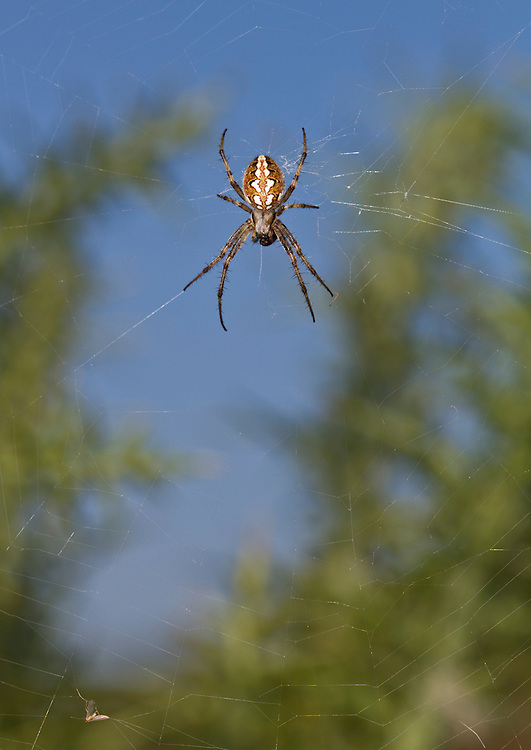 Neoscona adianta - Adult female. An uncommon orb weaver.