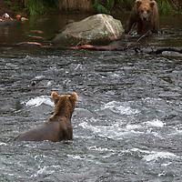 USA, Alaska, Katmai. Brown Bears facing off at Brooks Falls.