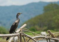 Olivaceous (Neotropical) cormorant, Phalacrocorax olivaceus. Tarcoles River, Costa Rica.