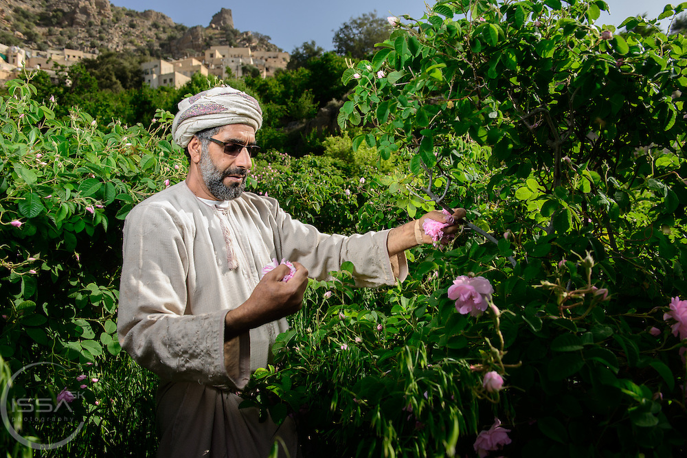 Abdul Kareem bin Saif AlSuqri hand picks roses in the terrace farms near the village of Sharaijah