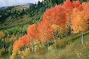 Red Aspens, Elk Mountains of Colorado