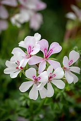 Pelargonium 'Supreme White' - Geranium.