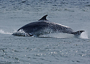 Bottlenose dolphin showing breach behaviour at Chanonry Point in the Black Isle area of Scotland. At this point of the Moray Firth a rip tide forms during the incoming tide.
