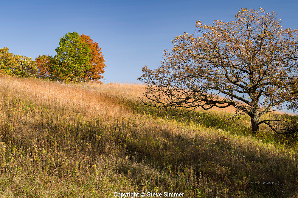 Walking by this hillside, I was struck by the juxtaposition of this old Bur Oak and the younger Red Oaks on the hilltop. Nothing is forever, but this old oak has lasted a long time.