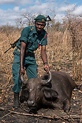 "African Buffalo (Syncerus caffer) sedated <br /> Majete Wildlife Reserve<br /> MALAWI, Africa<br /> Sedated buffalo to be tested for foot-and-mouth disease in a trans-border veterinary effort. Tests include ""Probang"" throat scrape and blood test. <br /> Reserve proclaimed in 1955, is situated in the Lower Shire Valley, a section of Africa's Great Rift Valley, covering an area of 700 km². Vegetation is diverse, ranging from moist miombo woodland to dry savannah."