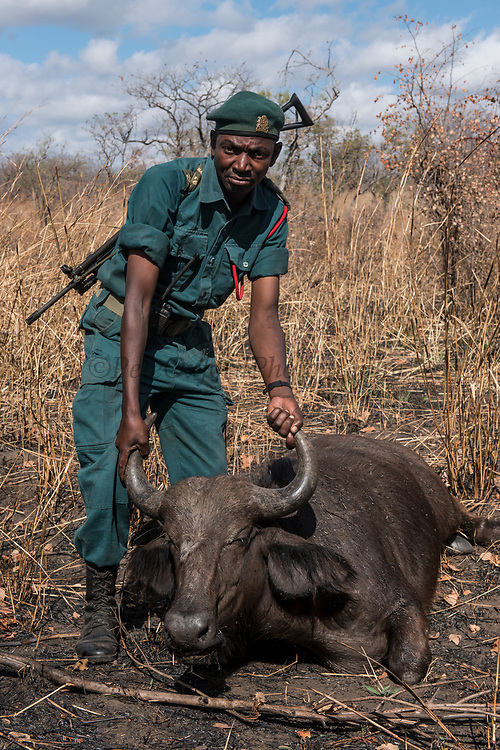 """African Buffalo (Syncerus caffer) sedated <br /> Majete Wildlife Reserve<br /> MALAWI, Africa<br /> Sedated buffalo to be tested for foot-and-mouth disease in a trans-border veterinary effort. Tests include """"Probang"""" throat scrape and blood test. <br /> Reserve proclaimed in 1955, is situated in the Lower Shire Valley, a section of Africa's Great Rift Valley, covering an area of 700 km². Vegetation is diverse, ranging from moist miombo woodland to dry savannah."""