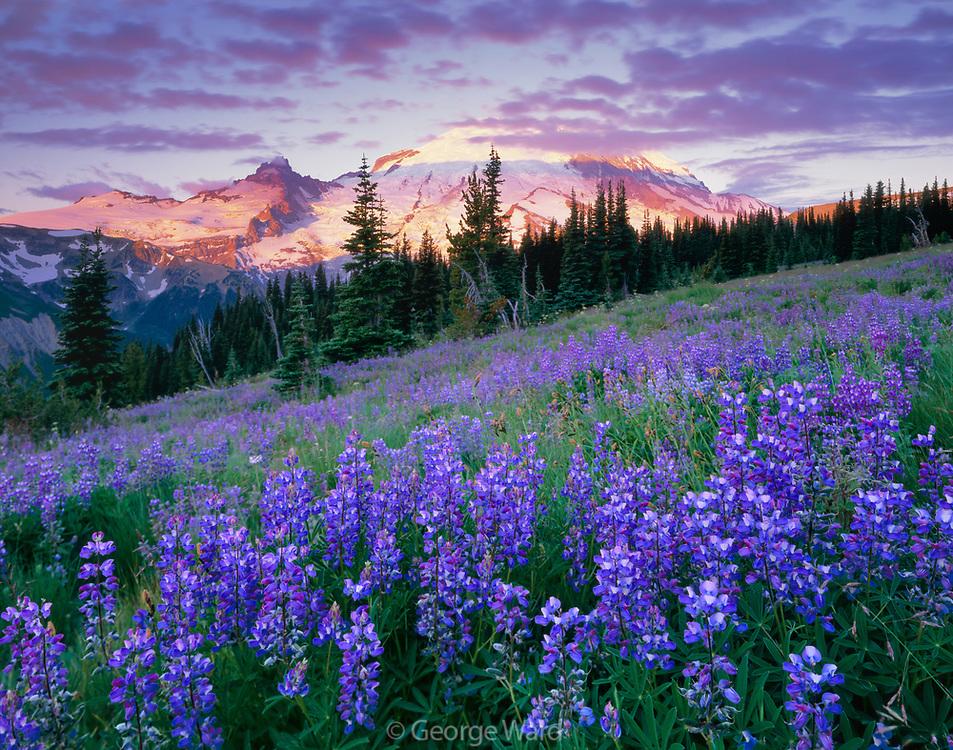 Lupine and Mount Rainier at Sunrise, Mount Rainier National Park, Washington